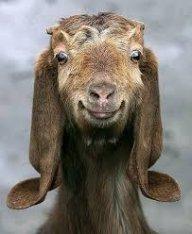 goats123123456
