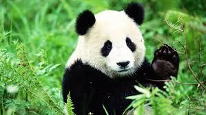 A_Brave_Panda