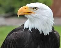 Eagle_9977
